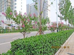 潍fang市文化路绿化工程